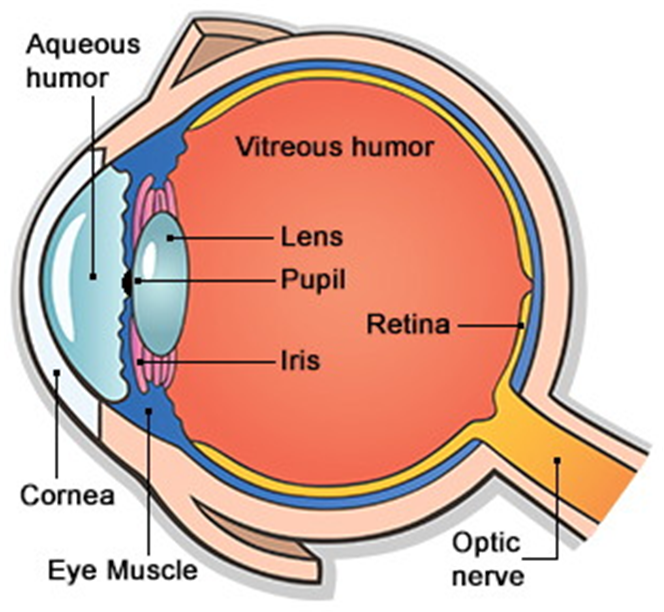 Draw a labelled sketch of the human eye from science light class 8 the labelled diagram of the human eye is as shown below ccuart Choice Image