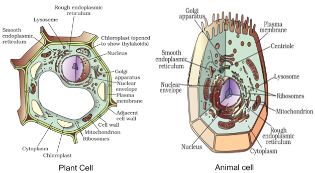 Draw labelled diagrams of animal and plant cells to show ...