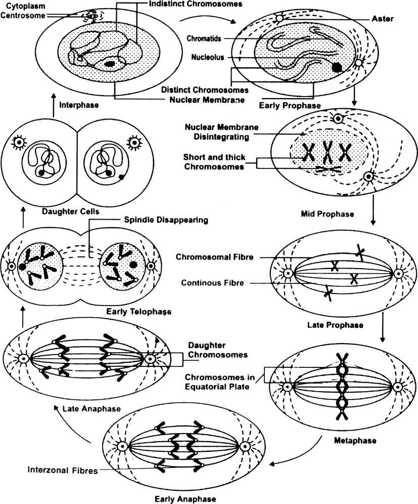 Draw diagram of mitosis.