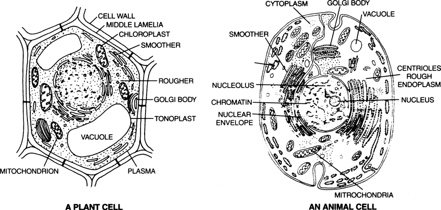 Draw Diagrams Of Plant Cell And Animal Cell From Biology Cell The