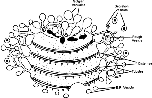 Describe discovery, occurrence, shape and structure of Golgi complex.
