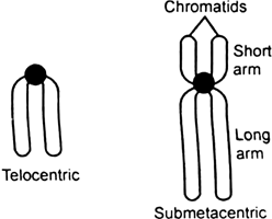 What is a centromere ? How does the position of centromere form the basis of classification of chromosomes. Support your answer with a diagram showing the position of centromere on different types of chromosomes.