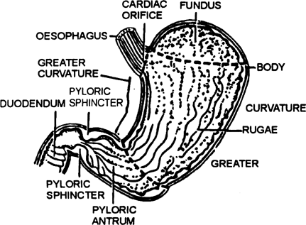 Write the parts of stomach of man and explain them.
