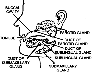 Write a brief note on salivary glands and gastric glands.