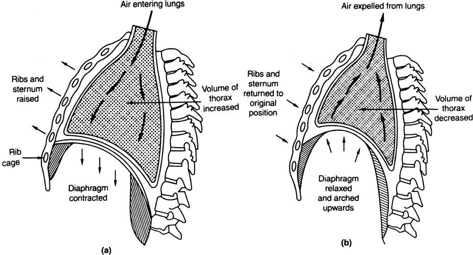 What is the role of diaphragm and inter costal muscles in breathing ? Or Describe the mechanism of breathing.