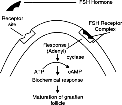 Briefly mention the mechanism of FSH.