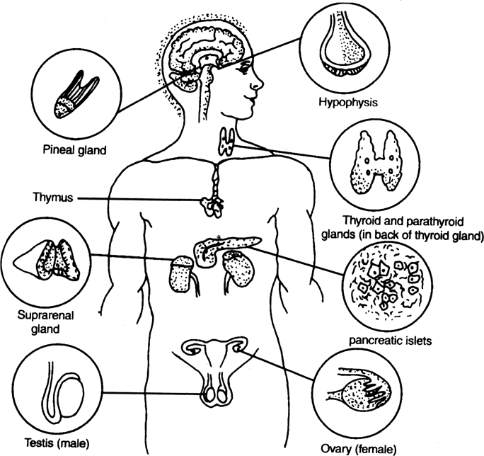 Diagrammatically indicate the location of the various endocrineglands in our body.
