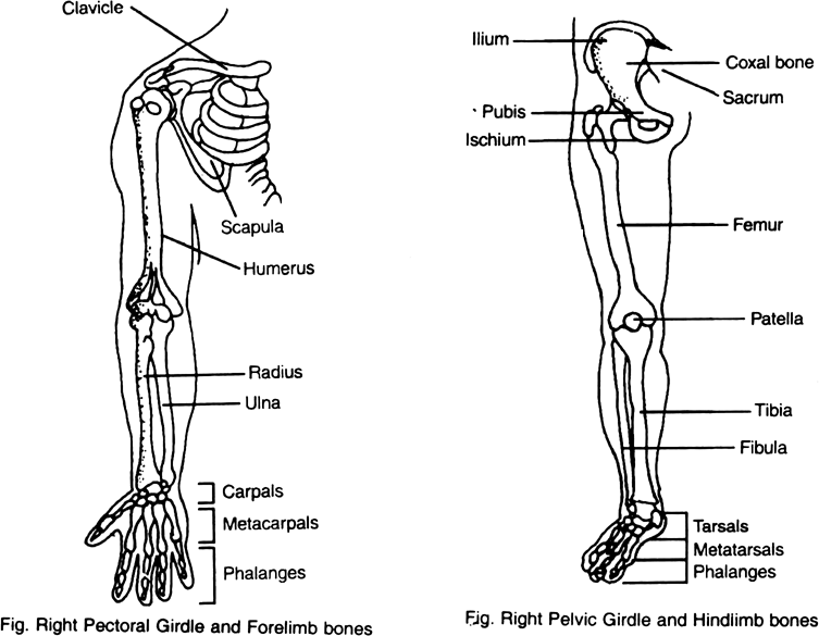 Draw diagram of pectoral girdle, bones of fore limb, pelvic girdle and bones of hind limb of man.