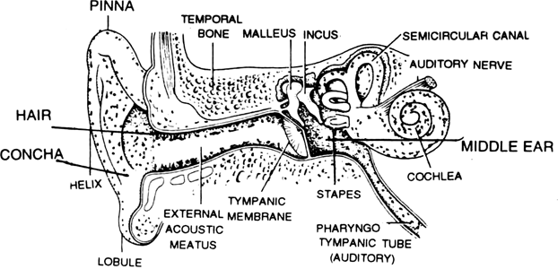 draw labelled diagram of the following d  ear  from biology neural control and coordination