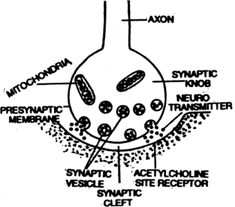 Give a brief account of mechanism of synaptic transmission