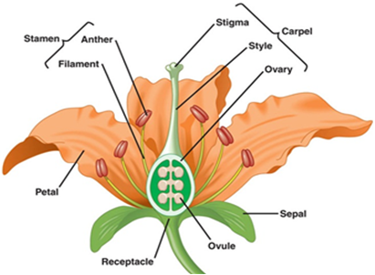 What is a flower describe the parts of a typical angiosperm flower the ovary is connected by a long tube called style the stigma is usually the sticky tip at the end of the style each ovary bears one or many ovules ccuart