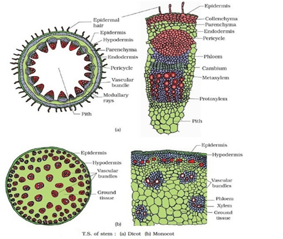 Difference of young and old dicot root