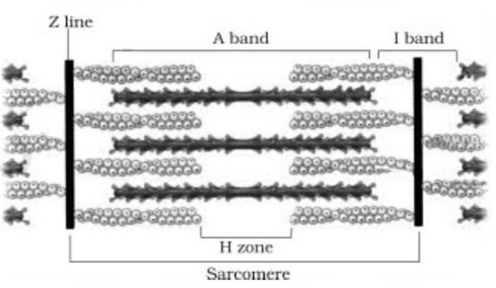 draw the diagram of a sarcomere of skeletal muscle showing