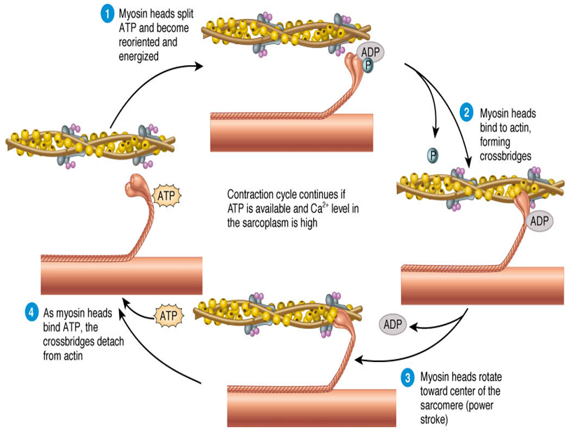 define sliding filament theory of muscle contraction from