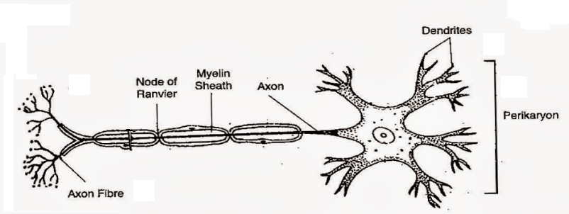 Draw A Well Labelled Diagram Of A Neuron Showing The Following Parts