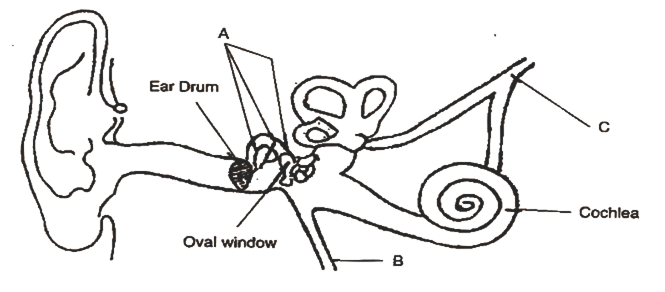 Given below is the diagram of the human ear study the same and i give the biological term for the part labelled a and state its function ccuart