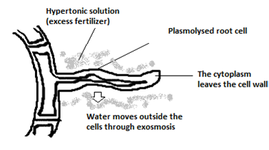 Image result for labelled diagram of the root hair cell as it would appear if some fertilizer is added to the soil close to it.
