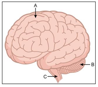 The diagram given below is an external view of the human brain name the parts labelled a b and c in the diagram ccuart Images