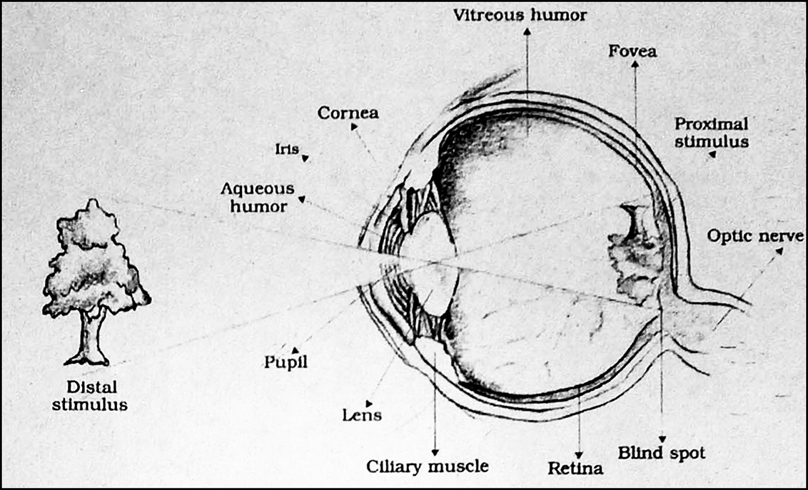 Diagrainatically show the structure of the human eye. from ...