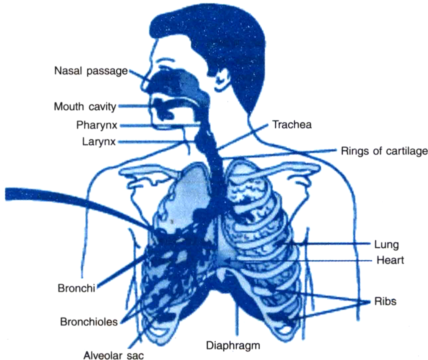 Draw The Labelled Diagram Of The Human Respiratory System From