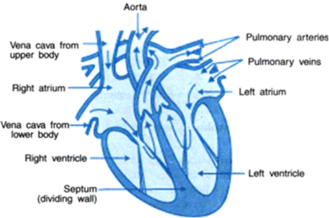 Describe the structure of the human heart with the help of a diagram the heart beat occurs due to contraction and relaxation of its atrium and ventricles at an average rate of 72 times per minute ccuart