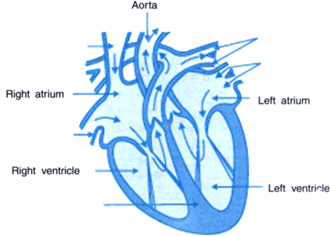 I draw the diagram of heart and label its four chambersii i draw the diagram of heart and label its four chambersii construct a table to show the functions of these four chambers from science life processes ccuart Images
