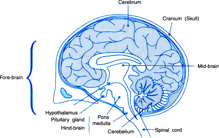 Draw A Labelled Diagram Of A Section Of Human Brain Zigya