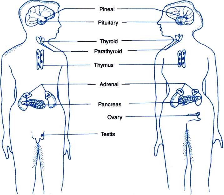 What Are Endocrine Glands Indicate Their Location In The Outline