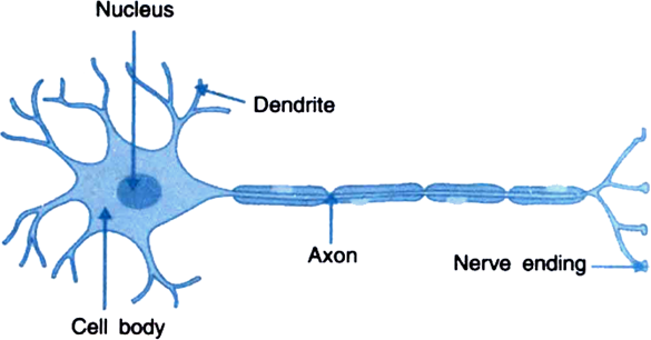 Draw the structure of a neuron and explain its function from structure of a neuron ccuart Choice Image