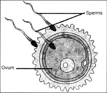 Diagram Of A Zygote