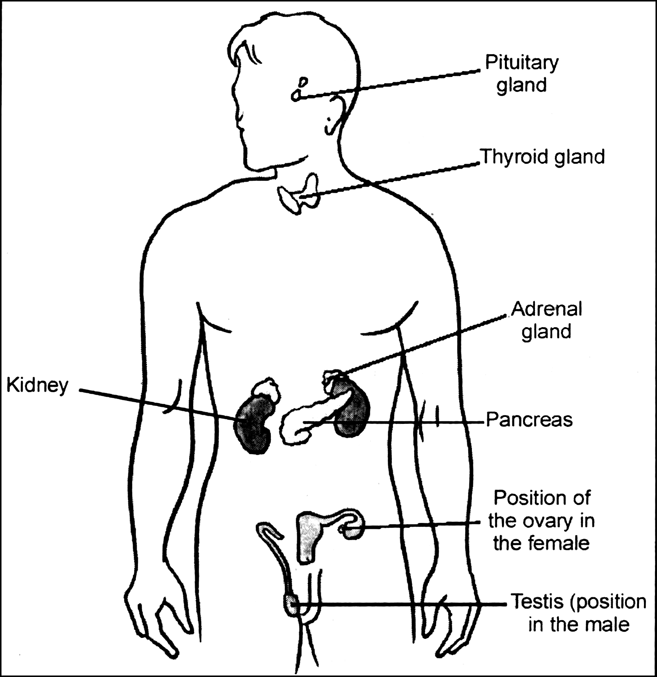 I Draw A Diagram To Show The Position Of Various Endocrine Glands
