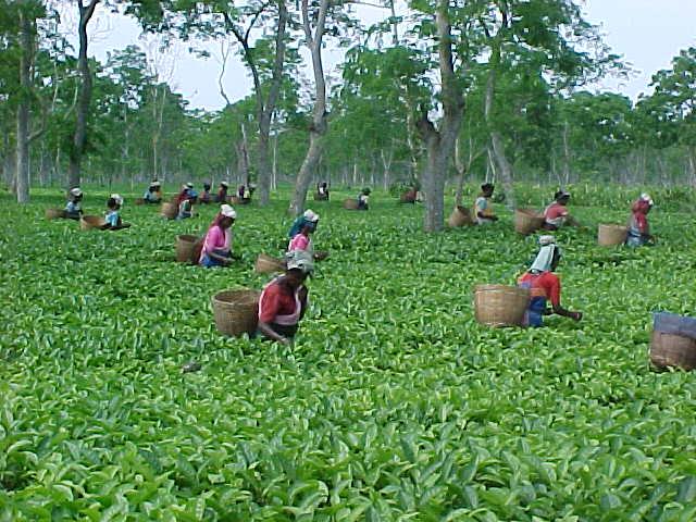 zigya.com: Assam Tea