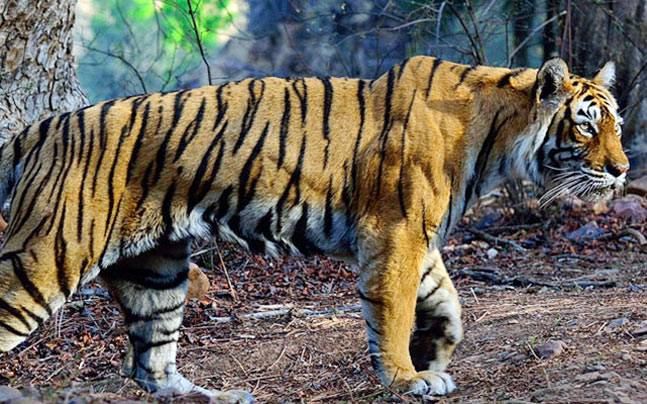 zigya.com:Machli-the oldest tigress