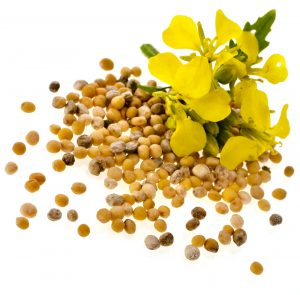 mustard_seed_and_flower_isolated_on_a_white_background