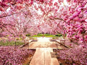The Spectacular Cherry Blossom