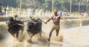 Kambala – Buffalo Race